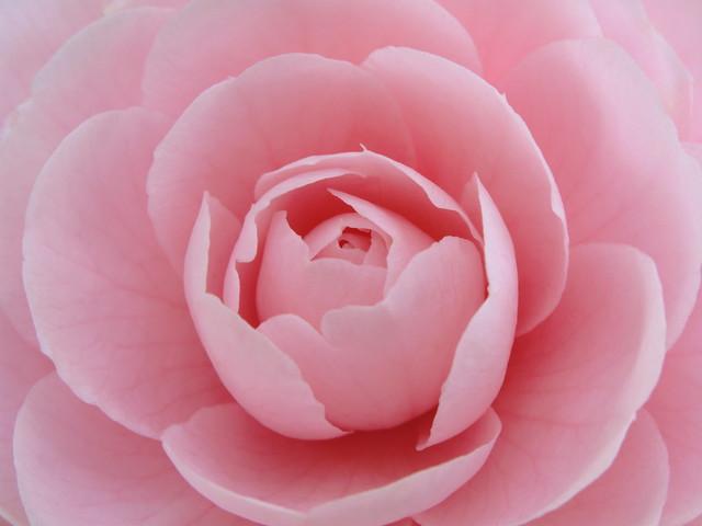 Camellia / 椿(ツバキ)