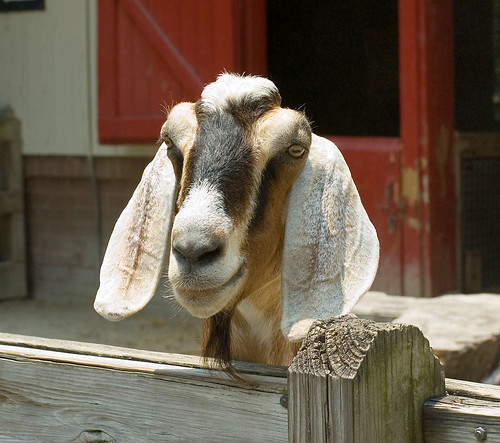 Bearded goat | by Geekly