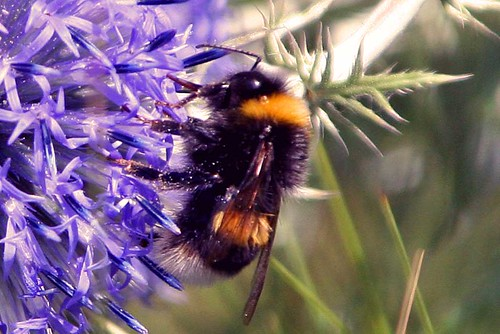 macro-bee