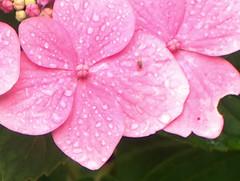 rosée, hortensias, 25 aout 2005