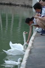 Feeding swans & duck