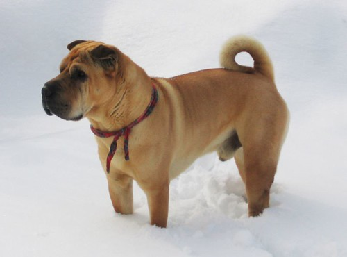 Sharpei in the snow - February 2005 | by m_h