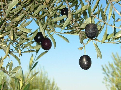 Olives | by wollombi