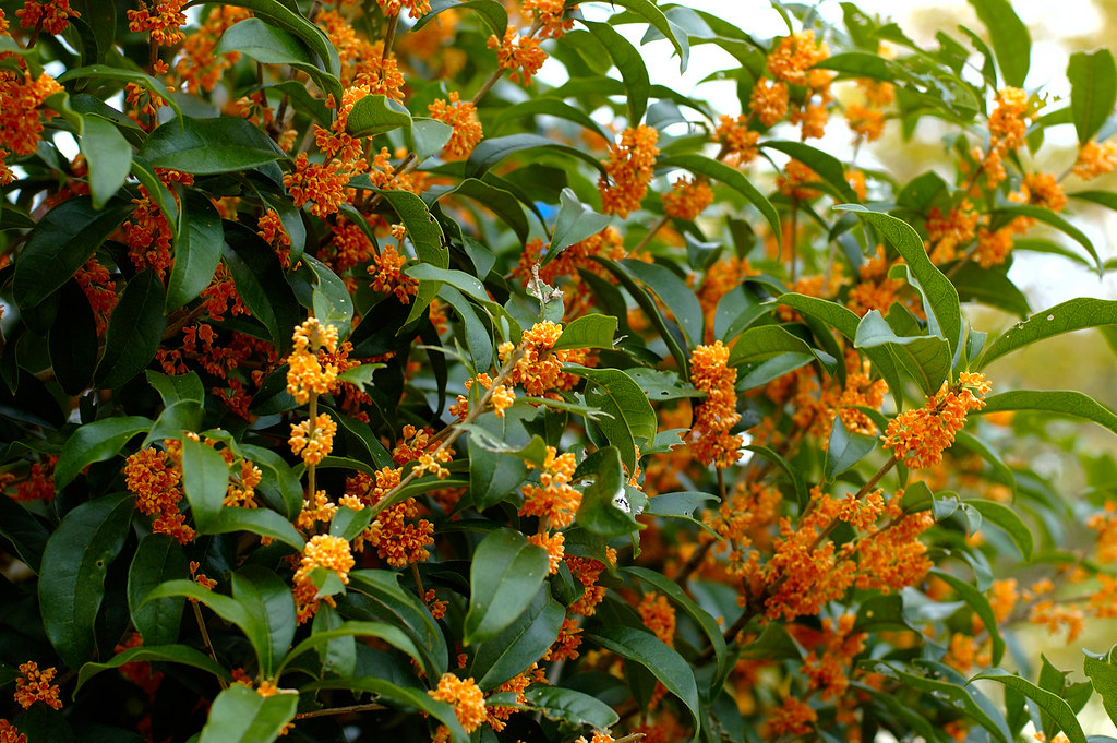 A fragrant orange-colored olive