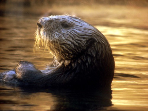 California Sea Otter | by ANiceCupofTea
