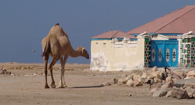 Camel (and ibis) in Berbera