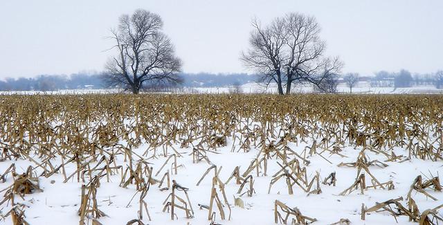 Chicagoland - Corn fields near Oswego