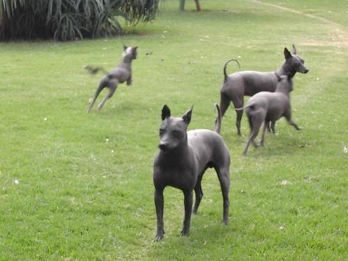 Xoloitzcuintle dogs