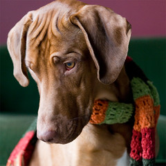 As though we hadn't known it all along: Ridgebacks are fashionable dogs! | by automat