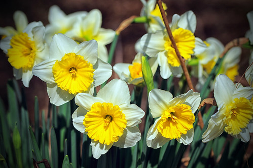 historicdaffodils daffodils spring spring2017 inmybackyard gastonia northcarolina dorameulman landscape beautiful