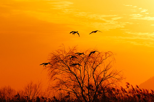 sunset tree bird yellow gold flying korea busan soe 10faves d2xs platinumphoto aplusphoto goldstaraward