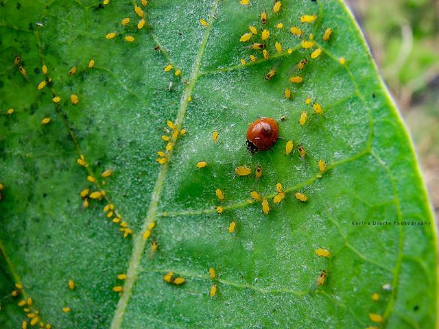 Pulgón de la adelfa / Oleander aphid
