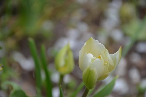 Tulipa - espèces et petits hybrides (sections 12 à 15) 32914668291_ff70c6e2ed