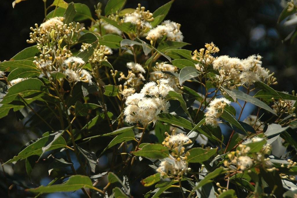 Eucalyptus Microcorys -Tallowwood