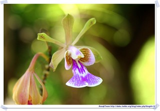 20041016_Guana@BVI_Orchid_001_A   by rosstsai