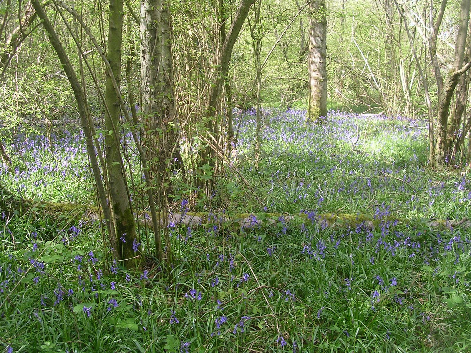 bluebells Yalding to Sevenoaks