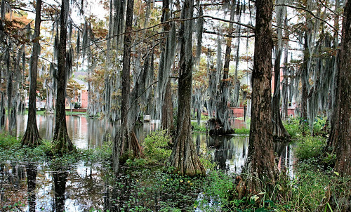lake college parish louisiana university lafayette edward swamp cypress leger blueribbonwinner edwardleger edwardnleger