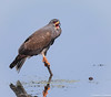 Snail Kite (Rostrhamus sociabilis) - West Vero Wetlands, Vero Beach, Florida by JFPescatore