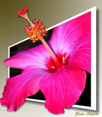 Hibiscus OOB