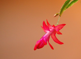 Christmas Cactus | by nataraj_hauser / eyeDance