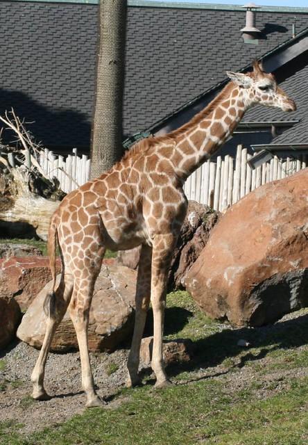 Reticulated Giraffe Baby