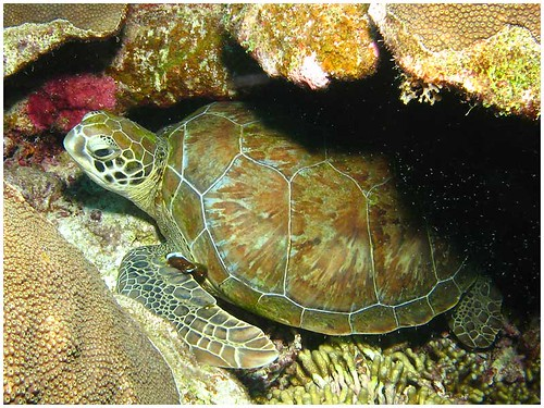 Green Turtle at Bonaire | by Dan Hershman