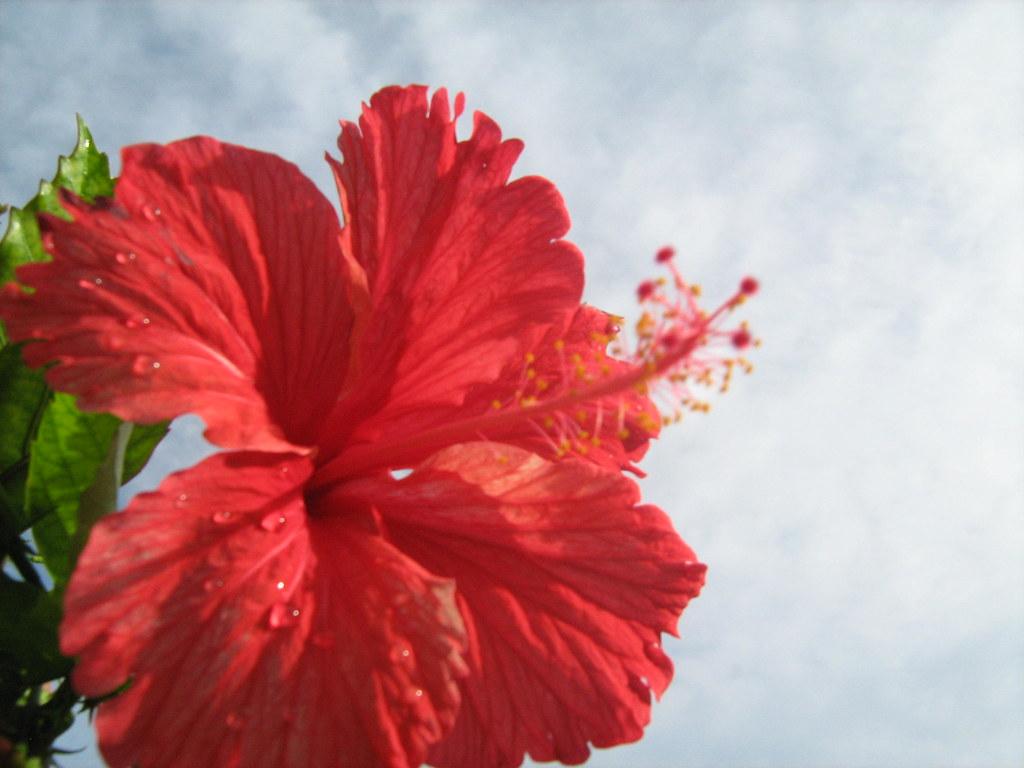 Hibiscusshoe Flower Leem Simpson Flickr