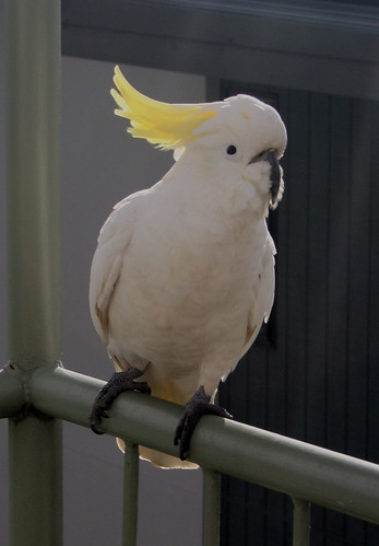sulphur-crested cockatoo | by Gillian in Brussels