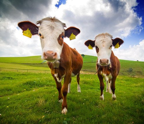 Two Cows | by Martin Gommel