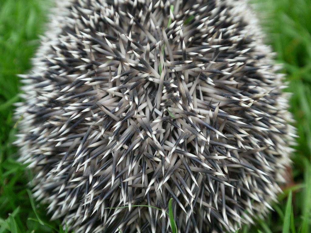 Spines of a hedgehog by Swamibu