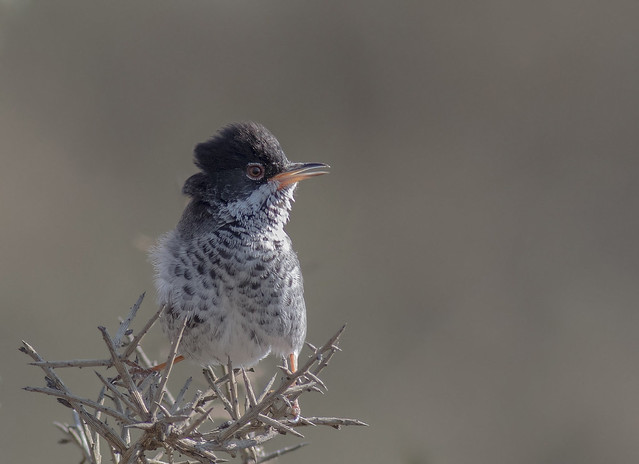 Cyprus Warbler Singing