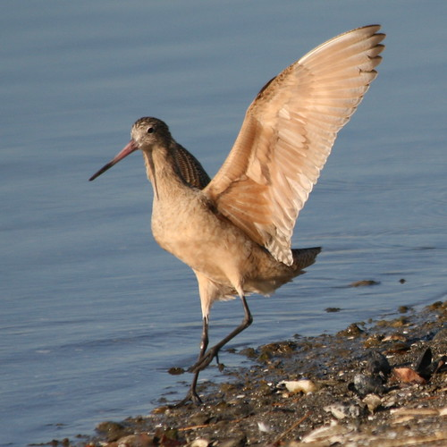 Marbled Godwit-IMG_0632-MV Baylands-Crop | by gimlack