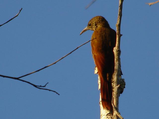 Lineated Woodcreeper (Lepidocolaptes albolineatus) Kourou 141107