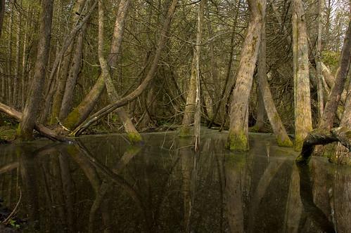 trees reflection flooding beaver cedar swamp beaverisland littlesandbay
