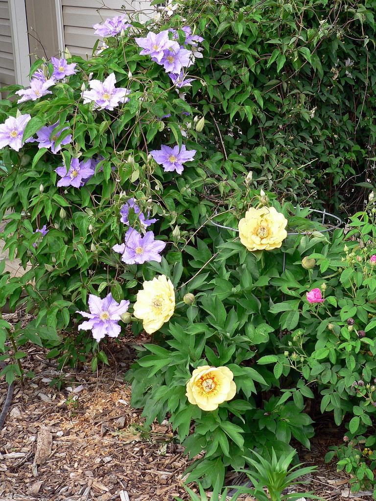 Clematis Will Goodwin Peony Garden Treasure 2007 Flickr