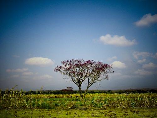 Lonely tree - Puebla