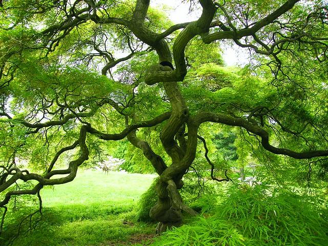 Spring Maple Tree