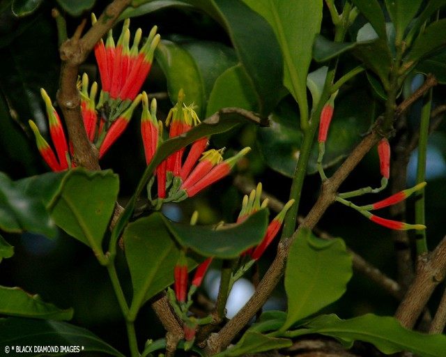Amylotheca dictyophleba  - Brush Mistletoe,Red Mistletoe