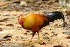 Sri Lanka Junglefowl by Thimindu