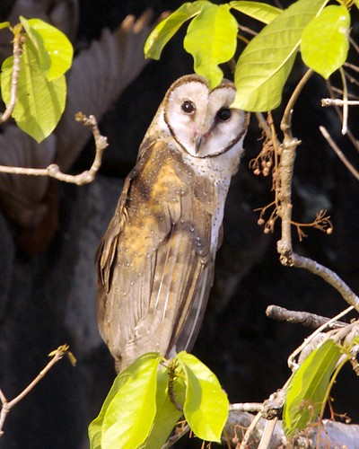 Sulawesi owl_Q0S0008.jpg | by Lip Kee