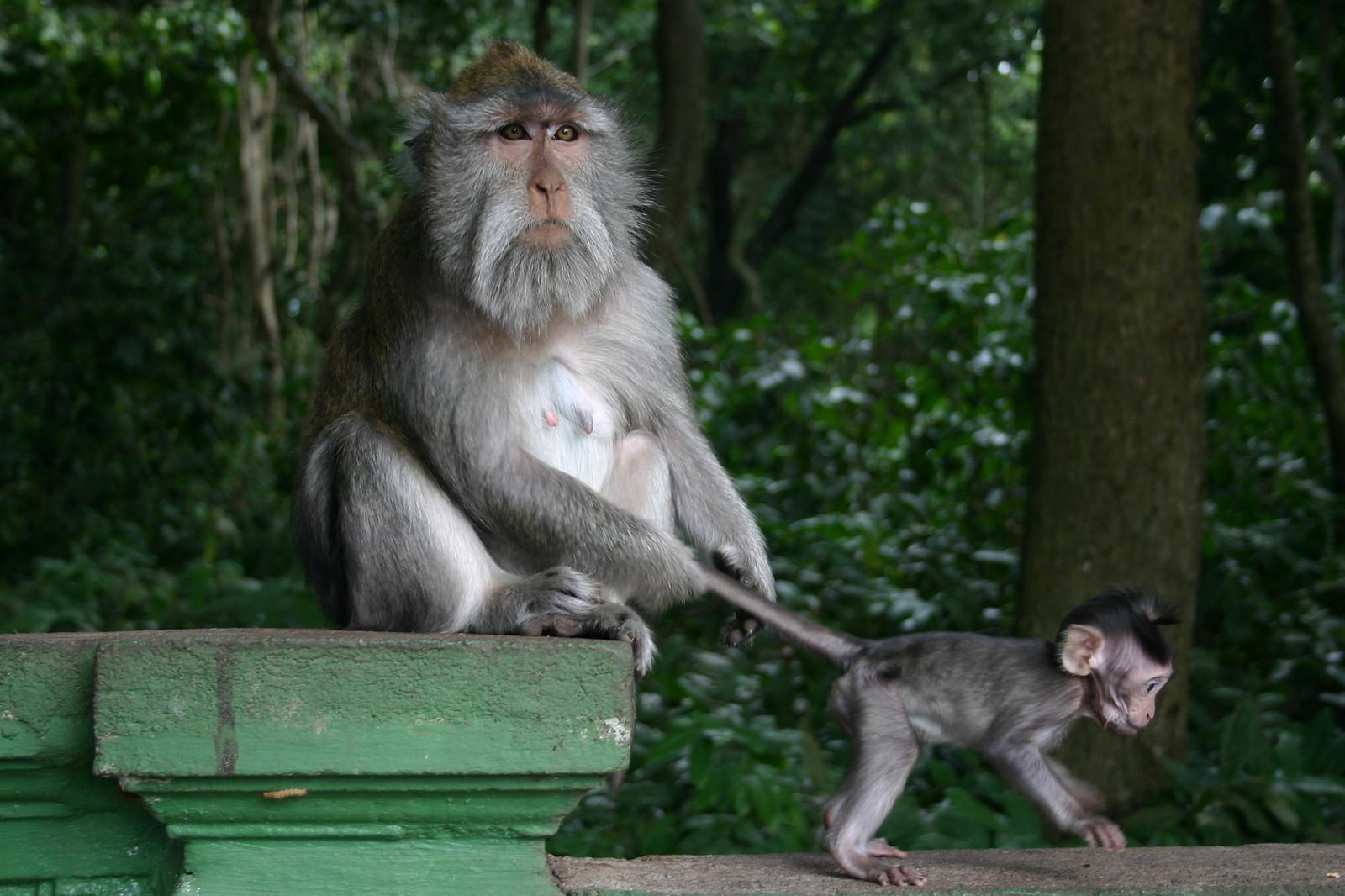 Monkey of the Monkey Forest Temple, Ubud - Bali 1