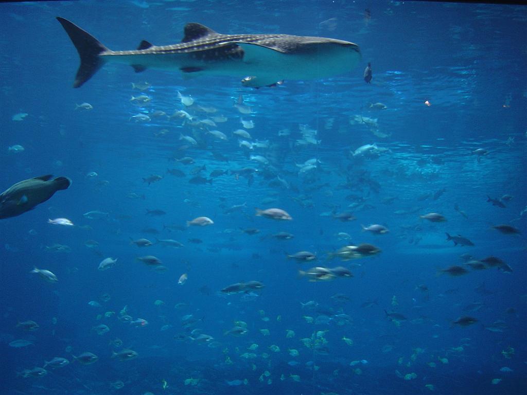 Whale Shark at Georgia Aquarium | Urdinola | Flickr
