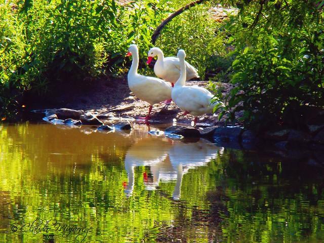 Patos / Ducks