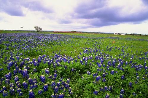 flower film landscape geotagged spring flora texas bluebonnet wildflowers bluebonnets lupine filmscan stateflower texaswildflowers lupinustexensis washingtoncounty texasstateflower tx50