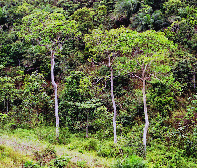 Fleroya stipulosa (DC.) Y.F.Deng (RUBIACEAE)