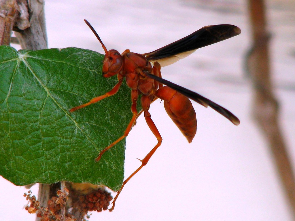 Red Paper Wasp Polistes Carolina At St Mary S Colony T