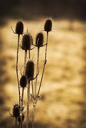 still life thistle plant flower landscape portrait intimate warm winter sony alpha a6000 minolta rokkor columbus ohio park dead