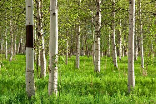 Birch grove | by Mothlike