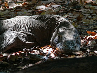 Mother komodo dragon | by East Asia & Pacific on the rise - Blog