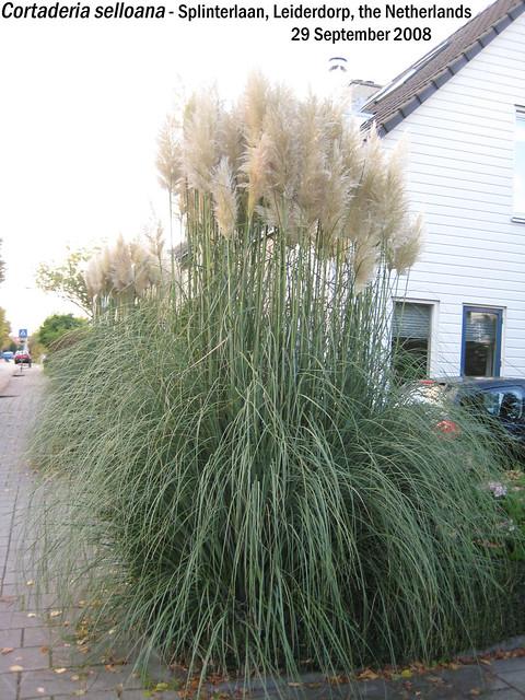 Cortaderia selloana (Pampas Grass) - Splinterln, Leiderdorp, NL 29 Sept 2008 01 Leo
